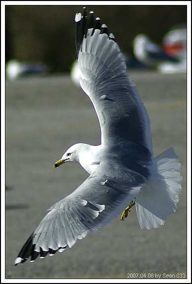 Seagull Photograph - Seagull-6 by Sean Xiao