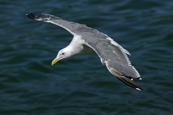 Animal Photograph - Seagull  In Flight by Randall Ingalls