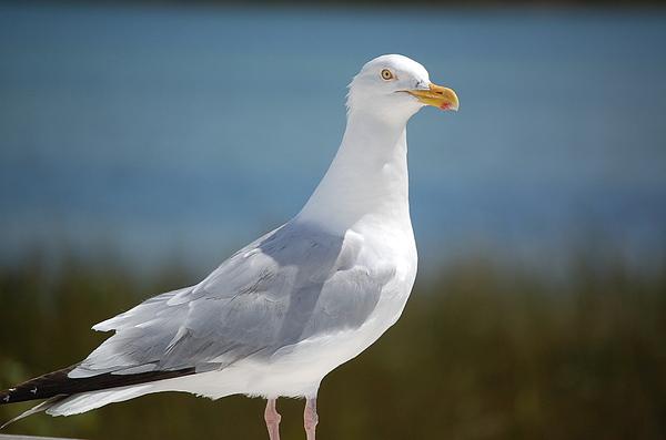 Seagull Photograph - Seagull by Lisa Patti Konkol