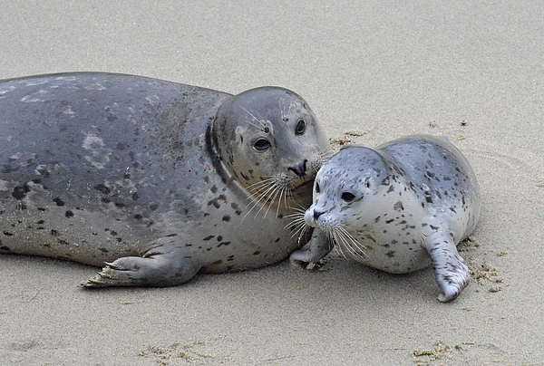 Seal Photograph - Seal Baby  by Judy Grant