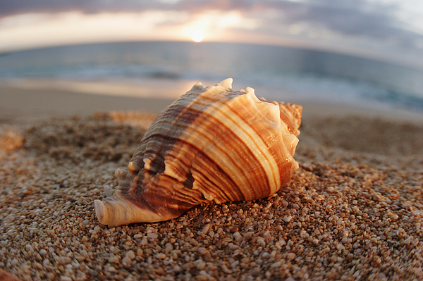 Background Photograph - Seashell In The Sand by Vince Cavataio - Printscapes