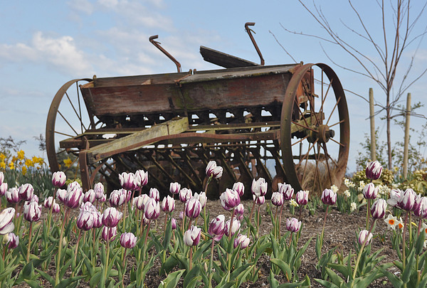Flower Photo's Photograph - Seed Drill Tulips by Brent Easley