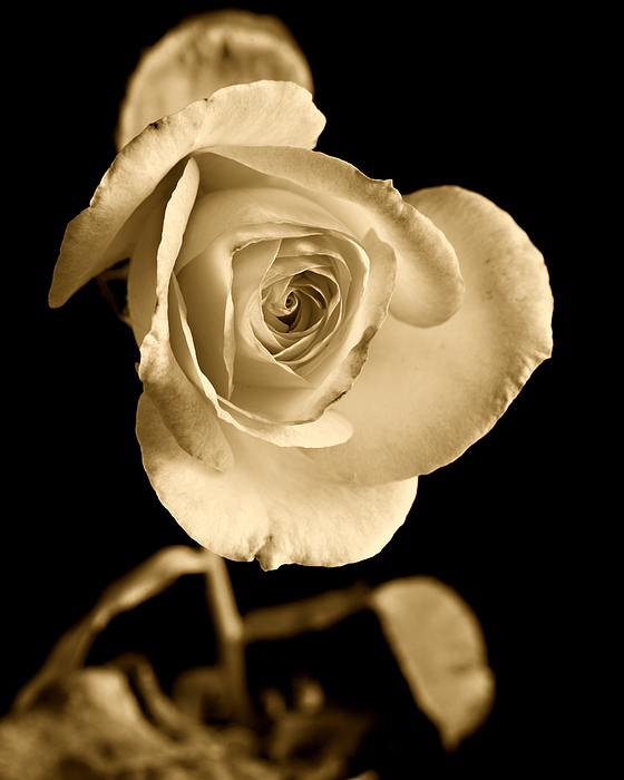 Rose Photograph - Sepia Antique Rose by M K  Miller