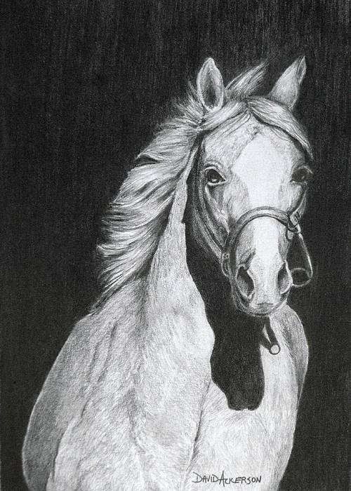 Wildlife Drawing - Shadow by David Ackerson
