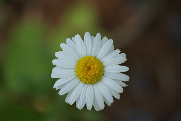 Daisy Photograph - She Loves Me She Loves Me Not by Ron Read