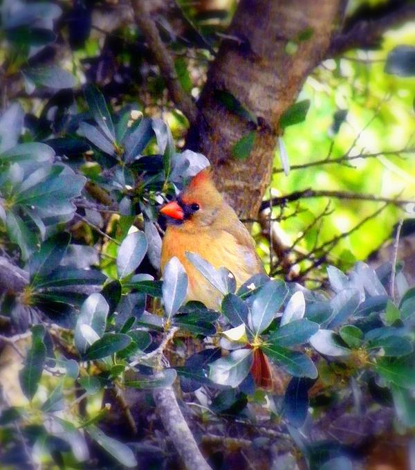Cardinal Photograph - She Waits by Karen Wiles