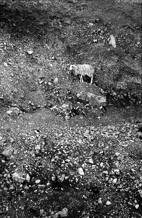 Nokia Photograph - Sheep In Bw by Jouko Lehto
