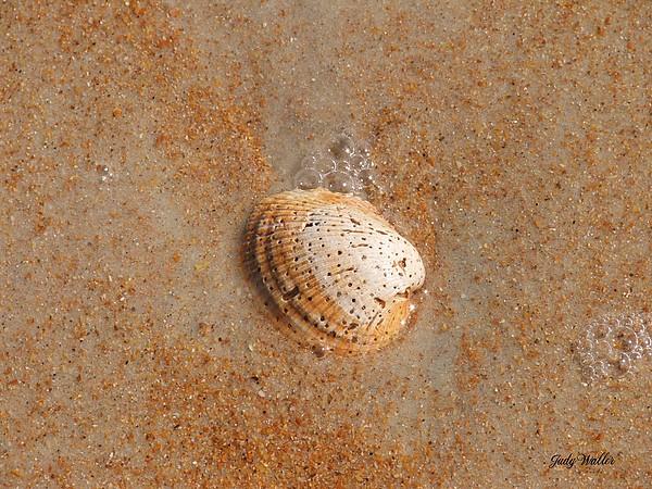 Beach Photograph - Shell by Judy  Waller