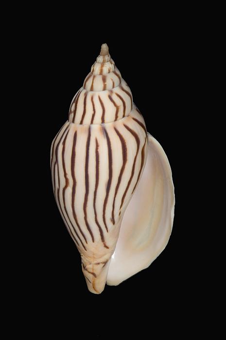 76-pfs0002 Photograph - Shell Pattern - Bw by Bill Brennan - Printscapes