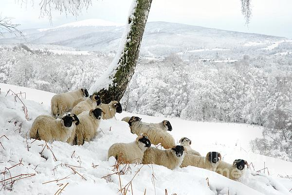 Christmas Photograph - Sheltering Flock by John Kelly