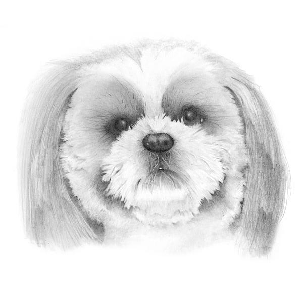 Shih Tzu Drawing - Shih Tzu    by Ann Hamilton