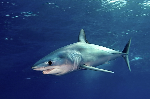 Horizontal Photograph - Shortfin Mako Sharks by James R.D. Scott