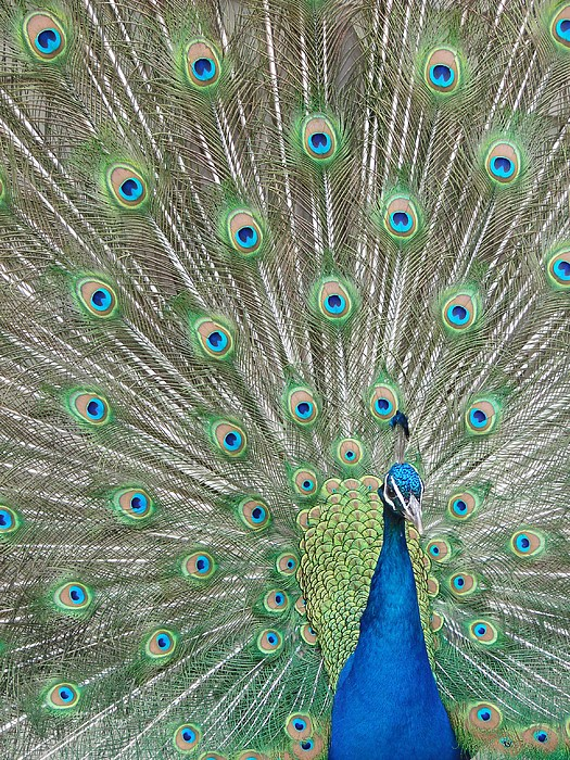 Peacock Photograph - Showing Off by Margaret Bobb