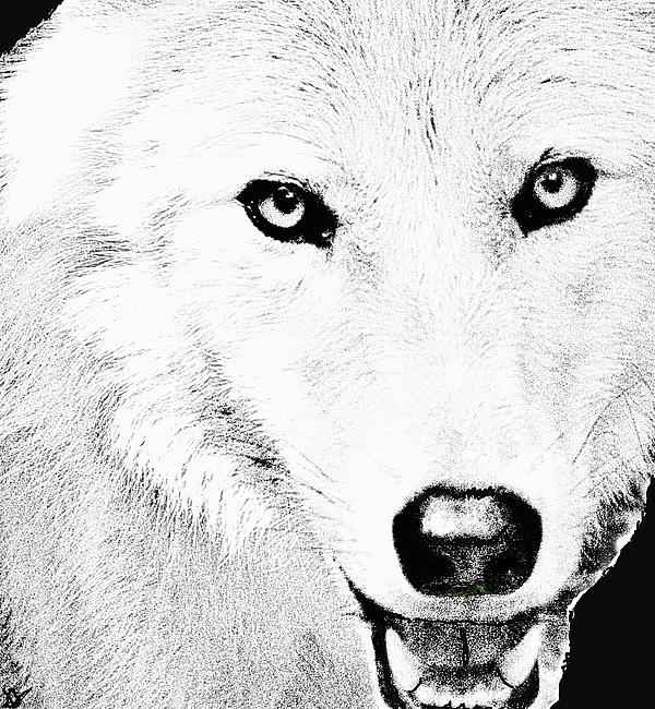 Wild Wolf Drawing - Shy Wolf by Debra     Vatalaro