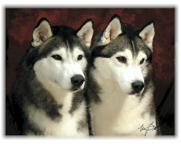 Dog Digital Art - Siberian Huskies Related by Maxine Bochnia