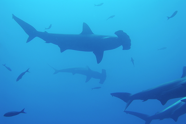 Motion Photograph - Silhouette Of Scalloped Hammerhead Sharks by Sami Sarkis