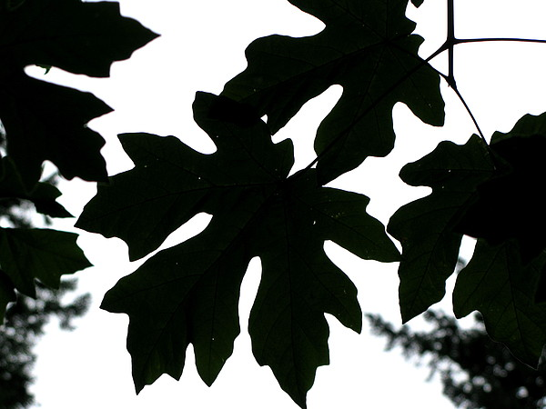 Tree Photograph - Silhouetted Maple by PJ  Cloud