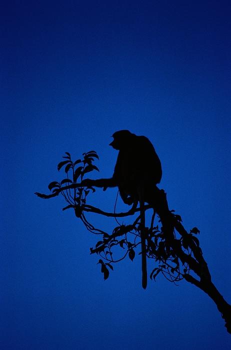 Borneo Island Photograph - Silhouetted Proboscis Monkey Nasalis by Mattias Klum