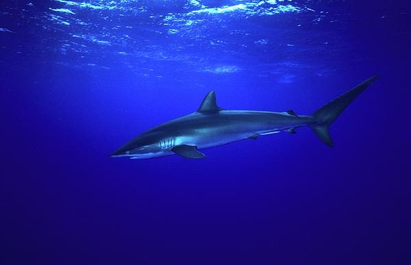 Animal Photograph - Silky Shark by Don Kreuter