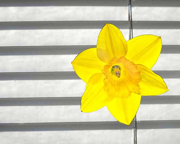 Dafodil Photograph - Simplicity by Michelina Sarao