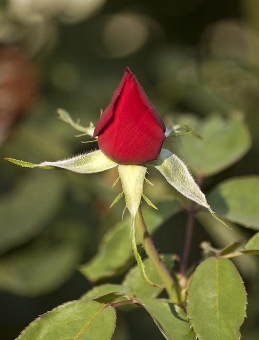 Bright Photograph - Single Bright Red Rose Bud by Mark Hendrickson