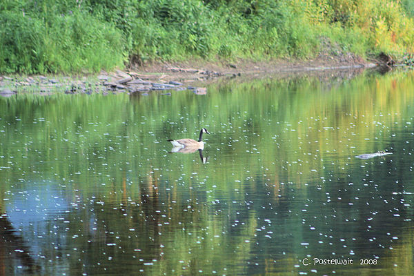 Canadian Geese Photograph - Single Canadian Goose by Carolyn Postelwait