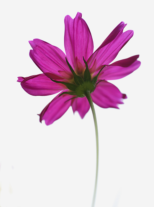 Single pink flower photograph by beckie bragga flower photograph single pink flower by beckie bragga mightylinksfo