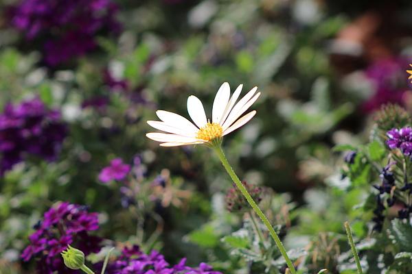 California Desert Photograph - Single White Daisy On Purple by Colleen Cornelius