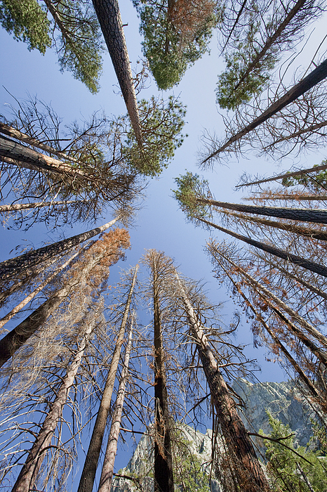 Sequoia National Park Photograph - Sky-trees by Rick Pham