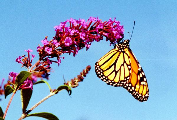 Monarch Butterfly Photograph - Skylands Monarch by Tom LoPresti