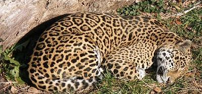 Jaguar Photograph - Sleeping Jaguar by Bryce Meyer