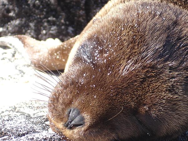 Animal Photograph - Sleeping Sea Lion by Chad Natti
