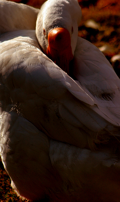 Swan Photograph - Sleeping Swan by LoungeMode Productions