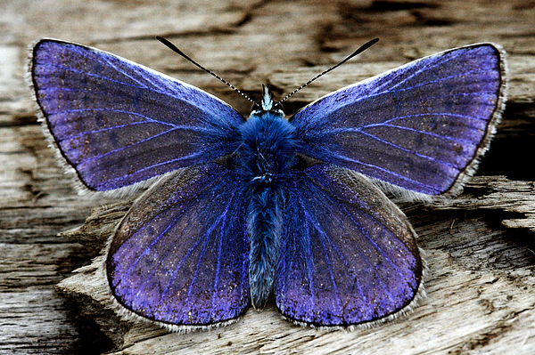 Small Blue Photograph - Small Blue Butterfly On A Piece Of Wood In Ireland by Pierre Leclerc Photography