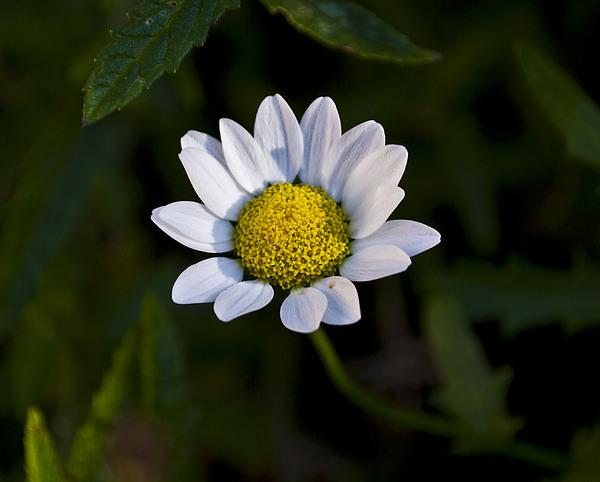 Flowers Photograph - Small Daisy by Svetlana Sewell