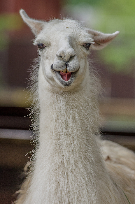 Smiling Alpaca Photograph by Greg Nyquist