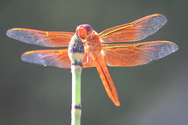 Dragonfly Photograph - Smiling Dragonfly by Melanie Beasley