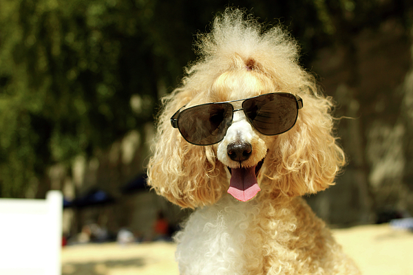 Horizontal Photograph - Smiling Poodle Wearing Sunglasses On Beach by Stephanie Graf-Vocat - SGV Photography