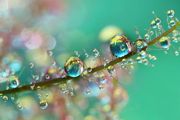 Smoke Bush Photograph - Smokey Rainbow Drops by Sharon Johnstone