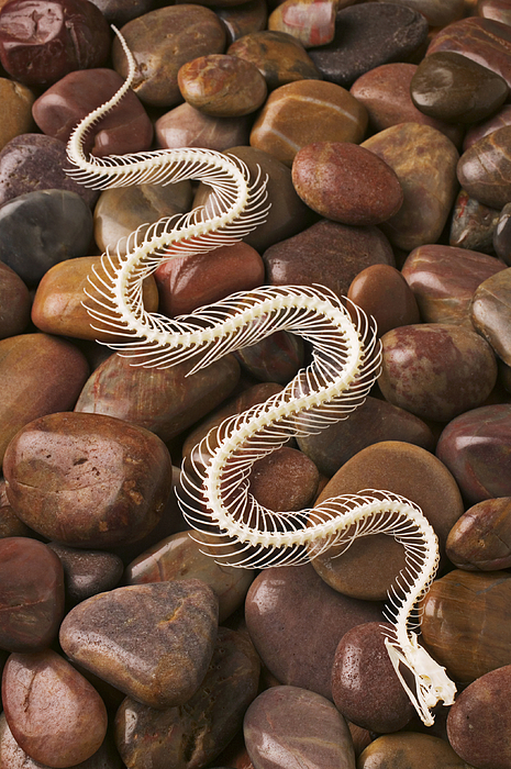 Snake Photograph - Snake Skeleton  by Garry Gay