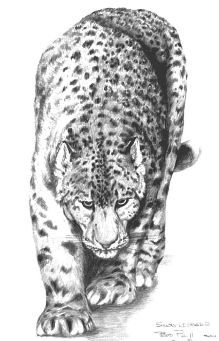 Wildlife Drawing - Snow Leopard by Bob Patterson