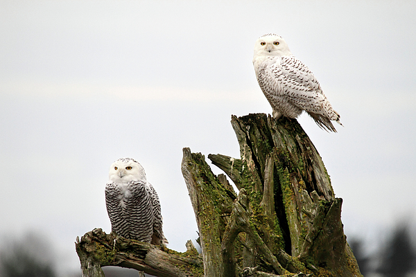 Snowy Owls Photograph - Snow Owls Of Boundary Bay by Pierre Leclerc Photography
