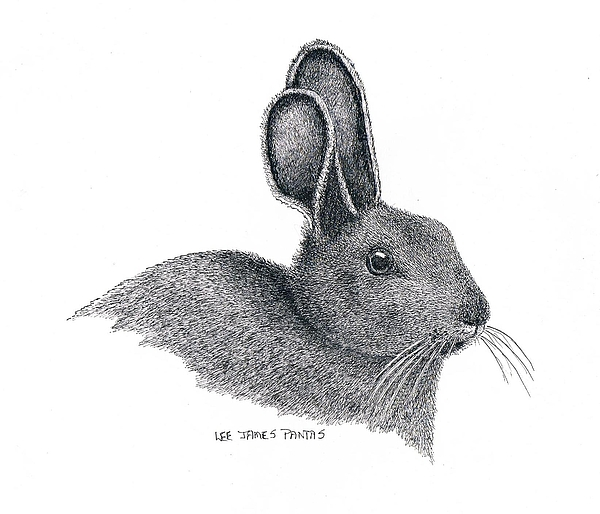 Hare Drawing - Snowshoe Hare by Lee Pantas