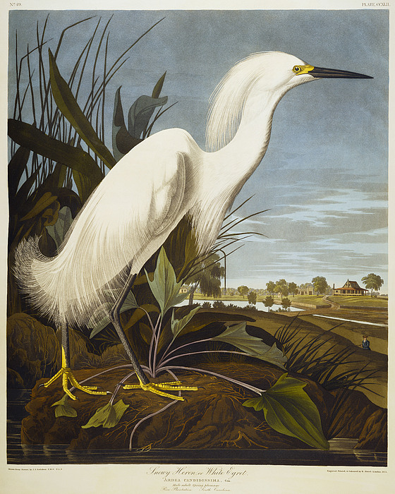 Snowy Heron Or White Egret / Snowy Egret (egretta Thula) Plate Ccxlii From 'the Birds Of America' (aquatint & Engraving With Hand-colouring) By John James Audubon (1785-1851) Drawing - Snowy Heron by John James Audubon