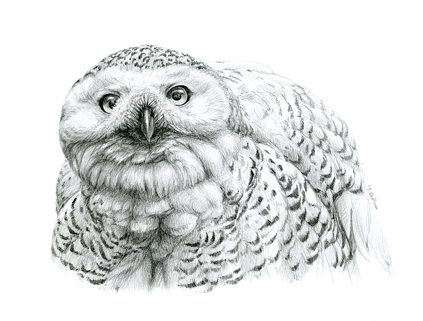 Nyctea Scandiaca Drawing - Snowy Owl -bubo Scandiacus by Svetlana Ledneva-Schukina