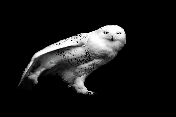Horizontal Photograph - Snowy Owl by Malcolm MacGregor