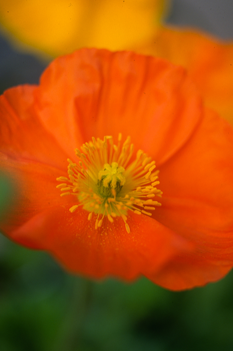 Poppies Photograph - Softly Poppies by Kathy Yates