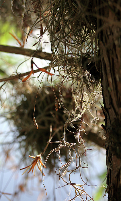 Trees Photograph - Spanish Moss I by Mary Haber