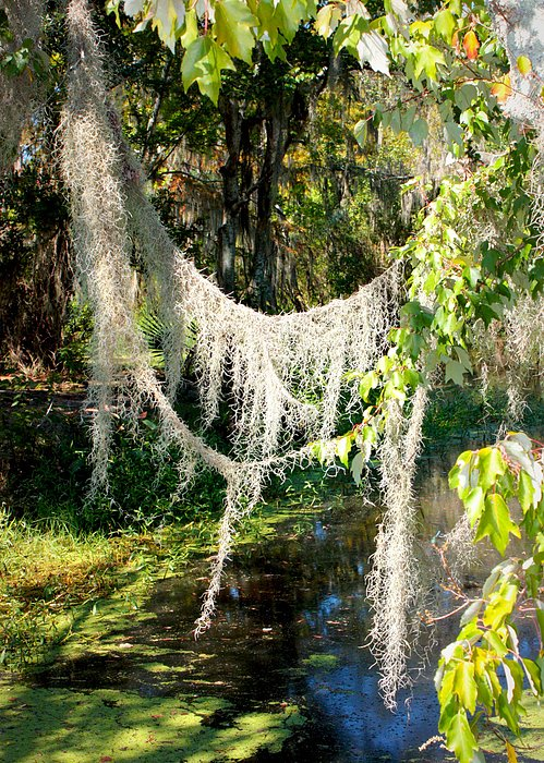 Swamp Photograph - Spanish Moss Over The Swamp by Carol Groenen