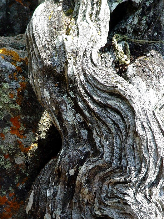 Tree Root Photograph - Spirit Tree Root by Patricia Bigelow